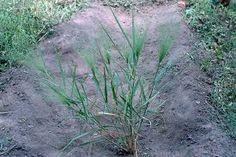 Eragrostis Aspera - Google Search Grass Type, Grasses, Google Search, Plants, Lawn, Grass, Planters, Herb, Plant