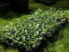 2017-05-27: Verbena bonariensis ready to plant out in the garden.