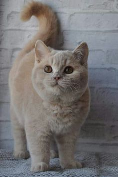 Cute cream-colored British Shorthair