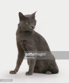 Korat cat, sitting, looking away : Foto stock