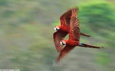 Resultado de imagem para araras voando