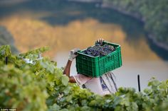 On the banks of the Mino Hector de Leon carries a box of grapes at a Cruceiro Reixo's plot which produces red and white wine
