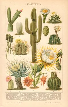 1894 Cacti Old man's Head Saguaro Cactus by CabinetOfTreasures