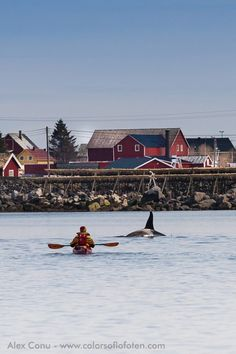 Orca and kayaker in Reinefjord, Lofoten by Alex Conu.