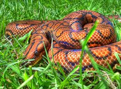 I love Rainbows. All About Snakes, All About Animals, Interesting Animals, Unusual Animals, Beautiful Creatures, Animals Beautiful, Cute Animals, Brazilian Rainbow Boa, Cool Snakes