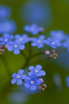 ~~Forget-me-not haze by ZedBee | Zoë Power~~Love forget-me-nots....