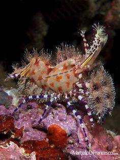 Saron/Marble Shrimp