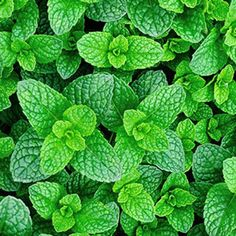 Soothing mint herb, ideal for horses digestion Mint Herb, Mint Garden, Yard Design, Growing Herbs, Medicinal Plants, Garden Planning, Gardening Tips, Peppermint, Herbalism