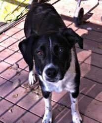Lucy is an #adoptable #LabradorRetriever #BorderCollie mix #Dog in #Provo, #UTAH.