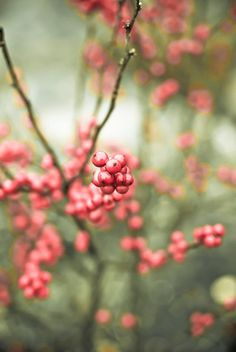 """tree photography winter red berries nature photo sea foam deep honeysuckle photograph 8x12 print  """"Nature's Candy"""""""