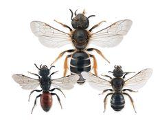 Halictidae - Pesquisa Google