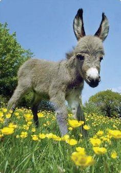 baby donkey in a field of flowers! :D