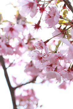 [P]同じ天気、同じ角度、同じ光、同じ咲き具合、で二度と撮ることはできない。今咲いているこの瞬間を逃したくはない。大学の桜を撮ってて思ったことです。 植物にも100%同じになることはない。そう思います。