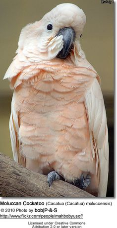 Moluccan Cockatoo. My dream pet!
