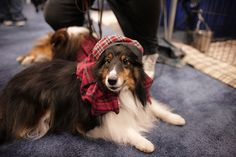 Sheltie in his family's plaid