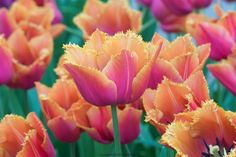 """These flowers are certainly museum-quality. Named for the Louvre in Paris, they provide lovely pops of color. With their bright pink petals with orange fringe will have you saying, """"C'est magnifique!"""