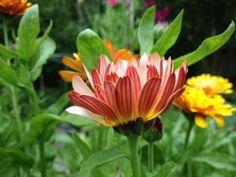 vardagens guldkorn: trädgård Marigold