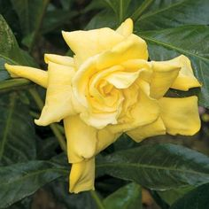 Yellow Gardenia (Gardenia jasminoides 'Aurea') looks like a yellow rose! A different twist to this famous plant, 'Aurea' has highly fragrant flowers that turn a deep golden-yellow several days sooner than the regular varieties giving the effect of a yellow gardenia. Hardiness Zones: 8-10