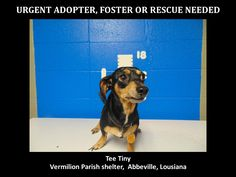 ***SUPER SUPER URGENT!!!*** - PLEASE SAVE TEE TINY!! - EU DATE: 3/26/2015 -- Tee Tiny Breed:Chihuahua (mix breed) Age: Young adult Gender: Male Size: Small Location: Kaplan, LA  Read more at http://www.dogsindanger.com/dog/1426696570584#yJCrv4YLrYtGDzfm.99 - If you have any questions please contact us at animalaidvermilion@gmail.com or (337) 366-0212 or visit our website animalaidvermilionarea.com for more information Read more at http://www.dogsindanger.com/dog/1426696570584#yJCrv4YLrYtGDzfm.99