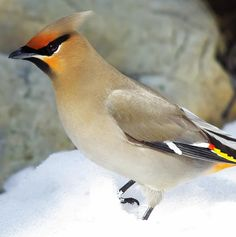 Global warming threatens the birds we love, including the Bohemian Waxwing But if we band together, we can build a brighter future for birds and ourselves. Take action today by spreading the word. Climate Change Report, Creature Picture, Audubon Birds, Kinds Of Birds, Bird Species, Wildlife Photography, Bohemian, Animals, Global Warming