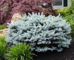 1000+ ideas about Blue Spruce on Pinterest   Cedrus Deodara, Thuja ...
