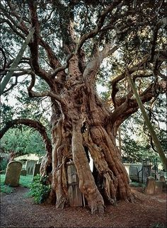Fortingall Yew- Perth, Scotland:  This may be the oldest living thing in Europe. Experts estimate it to be at around 2,000 years old.