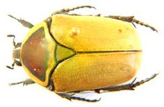 Dischista cincta. de Geer, McCarthy's Rest, Northern Cape. Caught 8th December 2000, Colin R. Owen collection. Site well worth visiting if you are interested in African beetles.