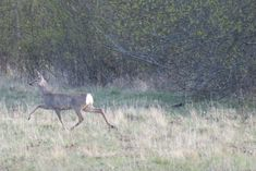 Metskits / Roe deer / Capreolus capreolus kaber : kabra : kapra 'metskits (Capreolus)' View th. Fog Images, Surface Mining, Roe Deer, Goats, Animals, Instagram, Animales, Animaux, Animal