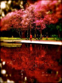 o ipê rosa do Parque da Redenção - Porto Alegre - RS - BRASIL