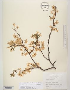 Prunus_americana,Resources for Botanical Sketchbooks, , Resources for Art Students at CAPI::: Create Art Portfolio Ideas milliande.com, Art School Portfolio Work, , Botanical, Flowers, Plants, Leaves,Stem Seed, Sketching, Herbarium