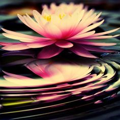 """The lotus is a flower that grows in the mud. The thicker and deeper the mud, the more beautiful the lotus blooms."" May you live like the lotus: at ease in muddy water.   http://sushumna.in/sushumna-yoga-our-vision.php"