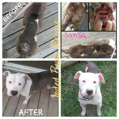 Sansa of the JPR. We rescued Sansa 8.12.14 from the streets. She was missing 90% of her teeth, she was emaciated, producing milk for missing puppies, was missing fur, and had a growth on her hip that had to be removed. To top it all off...Sansa...is stone deaf.