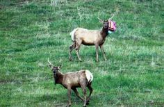 """A pretty, pink balloon release! Oh no! Someones gone and let another silly balloon go and now it's caught on that poor elk's antler. Well, at least he can't eat it.  Released balloons can travel hundreds of miles to end up as ugly trash in fragile ecosystems. Animals often mistake the remains for food or become entangled in the ribbons. Just say """"NO"""" to balloon litter."""