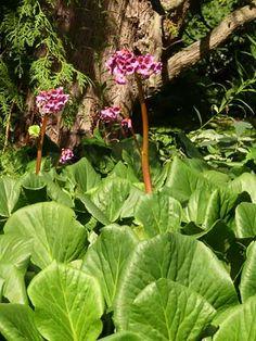 4. Bergenia cordifolia - Schoenlappersplant
