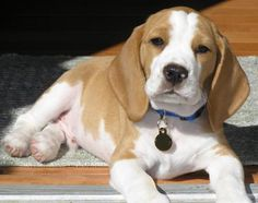 Are you interested in a Beagle? Well, the Beagle is one of the few popular dogs that will adapt much faster to any home. Art Beagle, Beagle Dog, Pet Dogs, Dogs And Puppies, Lemon Beagle Puppy, Doggies, Cute Beagles, Bulldog Breeds, Dog Cat
