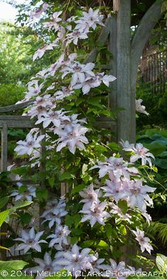 Clematis 'Blue Moon' on the client's arbor this year (some five years after planting):