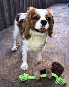 #cav #cavalierkingcharlesspaniel  #puppiesofinstagram #puplife #cavlife #dogsofinstagram #cavlife... Charles Spaniel, Cavalier King Charles, Spaniels, Kit, Instagram, Noel