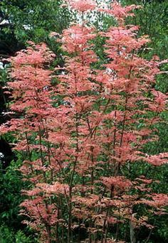 Cedrella sinensis - Chinese Cedar otherwise know as Toona sinensis 'Flamingo' - might be too big would have to stay a potted specimen