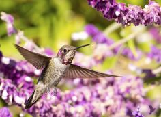 Hummingbird feeding on Mexican lavender flowers.  Feederwatch.org