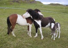 I'll scratch your back if you will scratch mine!  Icelandic horses
