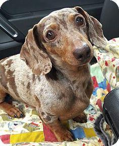 Salem, OR - Dachshund. Meet Goober, a dog for adoption. http://www.adoptapet.com/pet/17490143-salem-oregon-dachshund