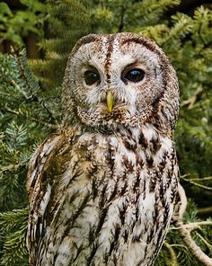 Tawny Owl in the Lüneburg Heath Wildlife Park near Nindorf, Hanstedt, Germany