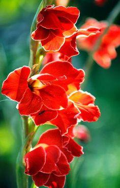 Red lurkspur. July birth flower