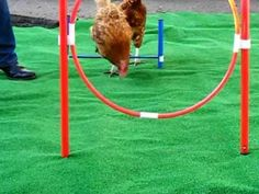 """The """"Feathers and Beaky Chicken Gym Tunnel and Slalom"""".  Because we all want our chickens to be happy."""