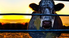 A new cut of Cowspiracy: The Sustainability Secret, executive produced by Leonardo DiCaprio, Jennifer Davisson and Appian Way Productions, is now exclusively for streaming on Netflix!