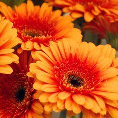 Gerbera naranja #gerbera #naranja #floresnaranjas #moonflowerartefloral
