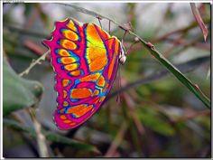 Eastwestfalian Fire Clipper Butterfly - Cute animals world Papillon Butterfly, Butterfly Kisses, Butterfly Flowers, Rainbow Butterfly, Purple Butterfly, Beautiful Bugs, Beautiful Butterflies, Amazing Nature, Beautiful Creatures