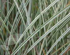 Buy silver grass Miscanthus sinensis 'Morning Light': Delivery by Crocus.co.uk