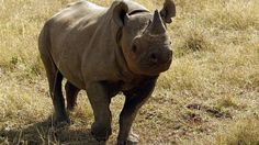 8Jun17. BBC News. A conservationist who helped reintroduce the black rhino to Rwanda has been killed by the animal.