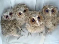 Baby owls rescued. (they say)